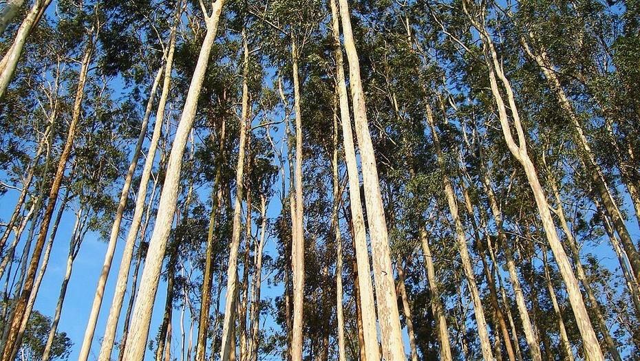 forestacion euca